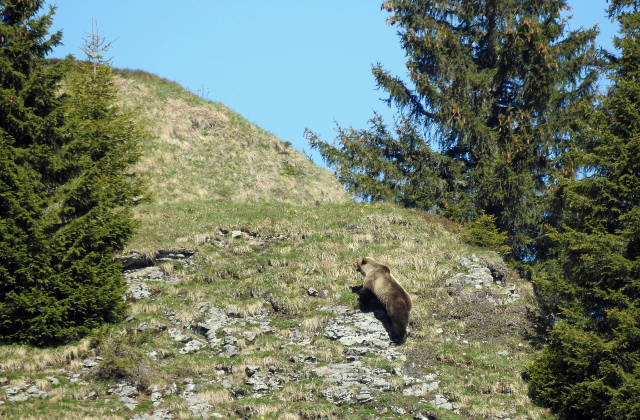 Bear warning issued to hikers in Bernese Oberland