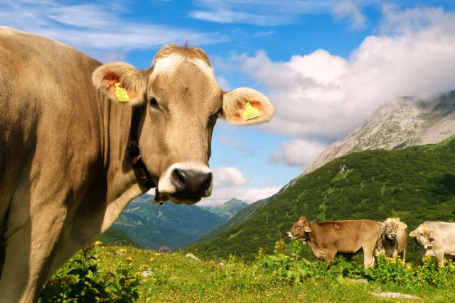 Aggressive cow injures two during cattle drive