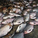 Sizzling temperatures leading to 'catastrophe' for fish in Swiss lakes and rivers