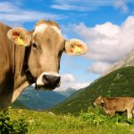 Oversized Swiss cows 'too big for their stalls'