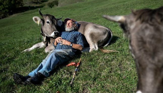 Switzerland votes on whether to save cows' horns