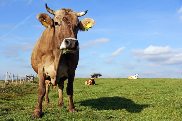 Why the Swiss are having a referendum about cow horns this weekend