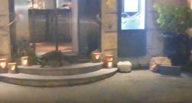 Watch: Rare sighting of raccoon in downtown Zurich