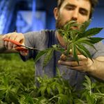 Thousands of Swiss could get 'cannabis licence'