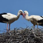 Swiss church turns off bells because of nesting storks