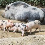 School Holiday Fun: March of the miniature pigs at Basel Zoo