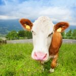 Cow attack: two hikers injured in central Switzerland