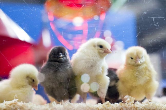 Shredding of live chicks to be banned in Switzerland from January 2020