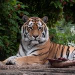 Investigation presumes fatal Zurich tiger mauling was an accident