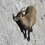 Switzerland to ban foreign trophy hunters from killing Alpine ibex